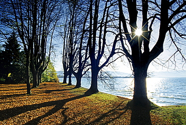 Alley of lime trees at the lakeshore in the sunlight, Lake Constance, Bavaria, Germany