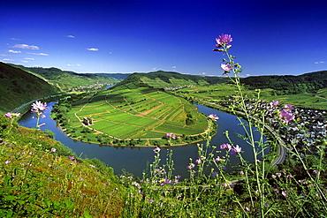 Mosel sinuosity near Bremm under blue sky, Bremm, Mosel, Rhineland-Palatinate, Germany