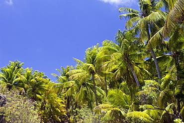 Coconut Palms at Bikini, Marshall Islands, Bikini Atoll, Micronesia, Pacific Ocean