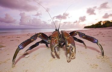 Coconut Crab, Robber Crab at Bikini Beach, Birgus latro, Marshall Islands, Bikini Atoll, Micronesia, Pacific Ocean