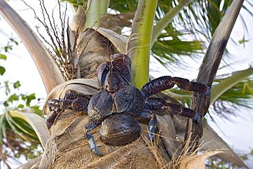 Coconut Crab, Robber Crab on Palmtree, Birgus latro, Marshall Islands, Bikini Atoll, Micronesia, Pacific Ocean