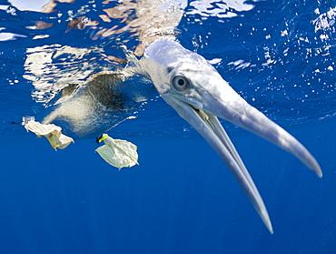 Young Brown Booby, Sula, leucogaster, Marshall Islands, Bikini Atoll, Micronesia, Pacific Ocean