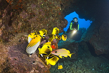 Diver observe Racoon-Butterflyfishes feeding Eggs from other Fishes, Chaetodon lunula, Cathedrals of Lanai, Maui, Hawaii, USA