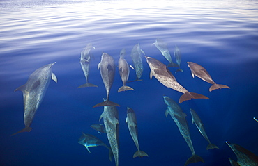 Atlantic Spotted Dolphins, Stenella frontalis, Azores, Atlantic Ocean, Portugal