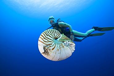 Nautilus and Diver, Nautilus pompilius, Great Barrier Reef, Australia