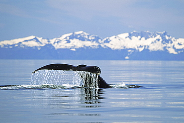 Fluke of a whale poking out of the water, Inside Passage Alaska USA