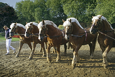Parade of Stallions, Warendorf, Muensterland, North Rhine-Westphalia, Germany