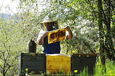 Beekeeper with honeycomb, Apiarist, Honey bees, South Tyrol, Italy