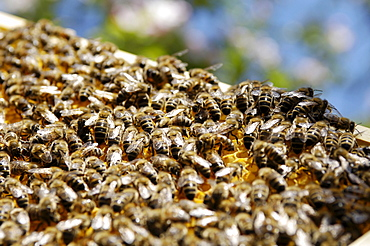 Honey bees with honeycomb, Bee colony, Honey bees, South Tyrol, Italy