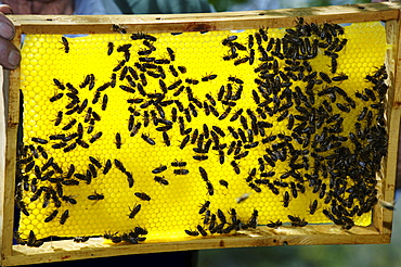 Yellow honeycomb full of bees, South Tyrol, Italy, Europe