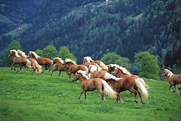 Haflinger horses galopping through a meadow, breeding, South Tyrol, Italy
