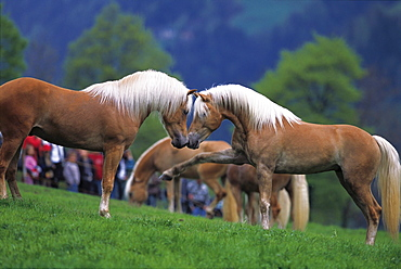 Haflinger horses in a meadow, breeding, South Tyrol, Italy