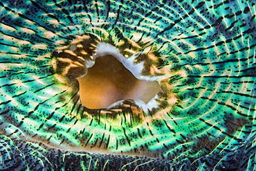 Mantle of Giant Clam, Tridacna Squamosa, Micronesia, Palau