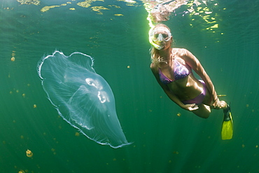 Moon Jellyfish and Skin Diver, Aurita aurita, Jellyfish Lake, Micronesia, Palau