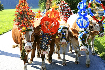Nicely decorated cows, Almabtrieb, cattle drive from mountain pasture, Brannenburg, Rosenheim District, Bavaria, Germany