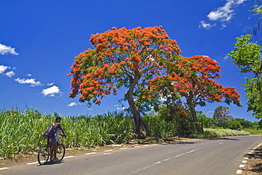 Flame Tree, Flamboyant, Royal Poinciana, sugar cane fields, 2 local people on bicycle, Mauritius, Africa