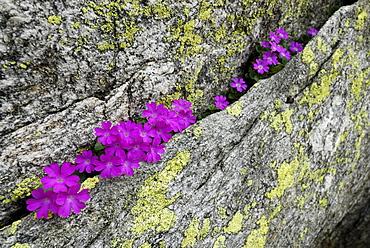 Alpine primrose growing in a fissure of granite block, Cima Trosa, Ticino Mountain Range, Ticino, Switzerland