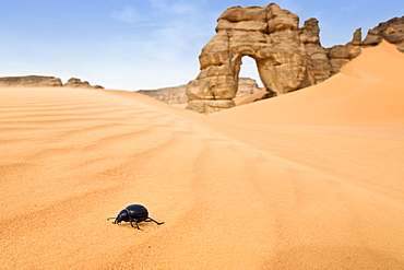 Beetle with Rock Arch in Akakus mountains, Libya, Sahara, North Africa