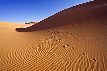 Fennek spoor in the libyan desert, Canis zerdus, Libya, Africa