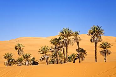 Date Palms, Phoenix spec., in the libyan desert, Oasis Um el Ma, Libya, Sahara, North Africa