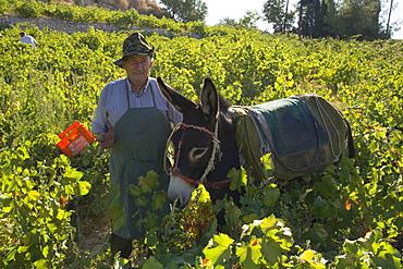 A man picking grapes, Donkey, Grape harvest, Vasa village, Troodos mountains, Cyprus