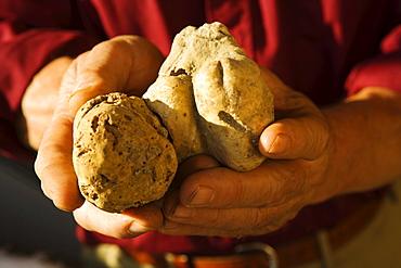 Truffles at the market in Alba, Piedmont, Italy