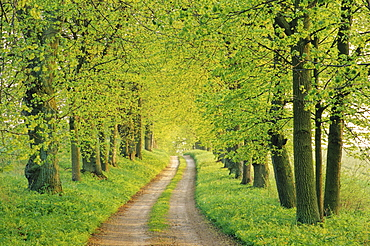 Lime tree alley, near Malchow, Mecklenburg-Western Pomerania, Germany