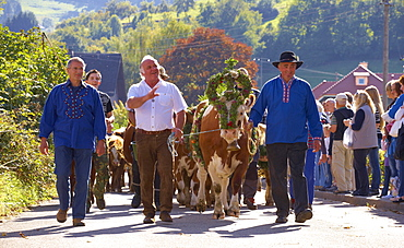 Taking down the cattle from the alpine pasture at Erlenbacher Huette to the village of Oberried, Southern Part of Black Forest, Black Forest, Baden-Wuerttemberg, Germany, Europe