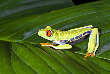 Gaudy Leaf Frog, Agalychnis callidryas on a leaf in the rainforest, Costa Rica