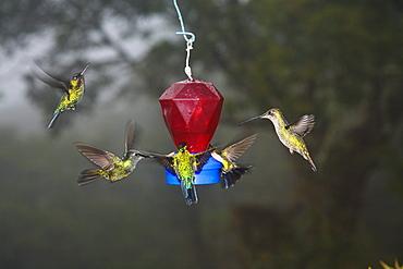 Hummingbirds at a feeder, Cerro de la Muerte, Costa Rica, Central America