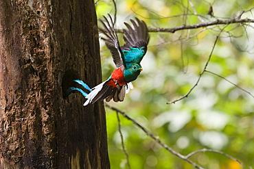 Resplendent Quetzal male in flight, Pharomachrus mocinno costaricensis, Costa Rica