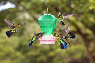 hummingbirds on feeder, Cerro de la Muerte, Costa Rica, Centralamerica