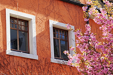 Blooming almond tree at the front of a house facade, Meersburg, lake Constance, Baden-Wuerttemberg, Germany