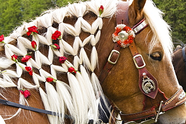 Roses woven into a horse's mane, traditional Georgiritt at Hub chapel, Penzberg, Upper Bavaria, Germany