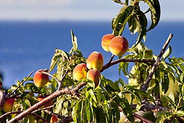 Peach-tree, Malfa, Salina Island, Aeolian islands, Sicily, Italy