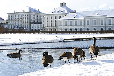 Canada geese in front of a canal, Nymphenburg castle in the background, Nymphenburg castle, Munich, Upper Bavaria, Bavaria, Germany