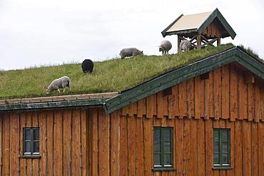 Lawnmower Sheep on Rooftop, near Flakstad, Flakstadoy, Lofoten, Nordland, Norway, Europe