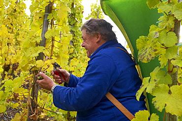 Grape harvesting at Bernkastel-Kues, Wine district, Mosel, Rhineland-Palatinate, Germany, Europe