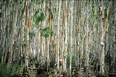 Paperbark trees lining a creek near the mining town of Weipa, Queensland, Australia