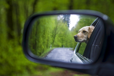Golden Retriever dog Moana reflected in the rear-view mirror of a car, Haunetal, Rhoen, Hesse, Germany, Europe