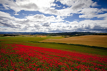 Poppy field full of corn poppies, near Uterga, Camino Frances, Way of St. James, Camino de Santiago, pilgrims way, UNESCO World Heritage, European Cultural Route, province of Navarra, Northern Spain, Spain, Europe