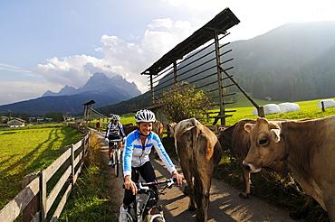 Couple on mountain bikes and cows, Heureiter, SextenSouth Tyrol, Dolomites, Italy, Europe