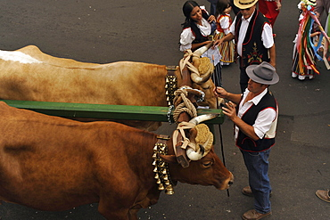 Oxen and women and men in canarian costume, Los Realejos, Romeria, Tenerife, Canary Islands, Spain