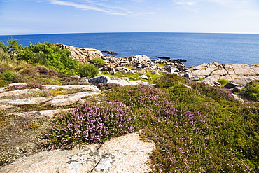 Blooming heather in coastal landscape at Hammer Odde, Hammeren, northern tip of Bornholm, Denmark, Europe