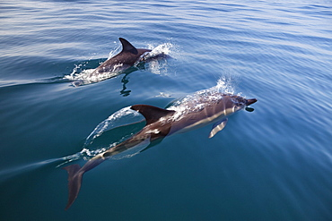 Common dolphins, Delphinus delphis, in the Atlantic ocean off the Algarve coast, Portugal, Europe