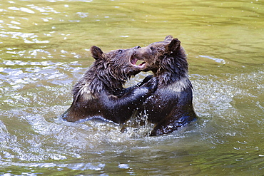 Young Brown Bears playing in water, Ursus arctos, Bavarian Forest National Park, Bavaria, Lower Bavaria, Germany, Europe