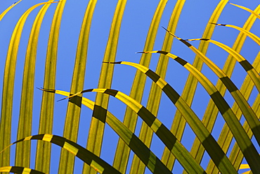 Palm leaves in the sunlight, Shanti Maurice Resort, Souillac, Mauritius, Africa