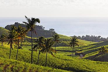 Plantation of sugar cane, Chamarel, Mauritius, Africa