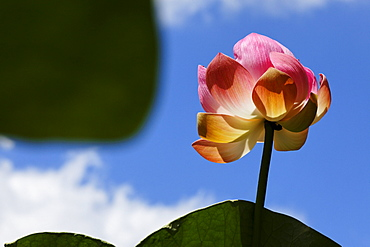 Lotus blossom in the Botanical Garden of Pamplemousses, Mauritius, Africa