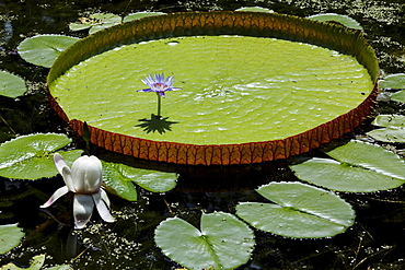 Victoria Regia water lily in the botanical garden of Pamplemousses, Mauritius, Africa